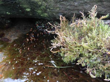 (bron)mos overwoekerd in de vijver