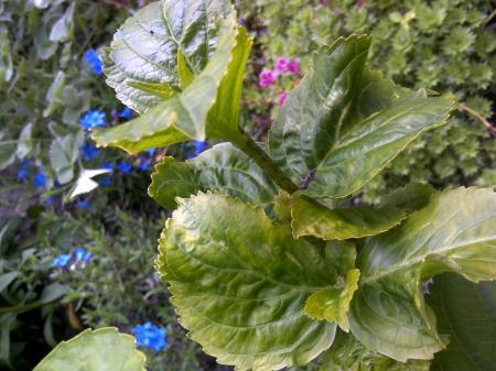 Hortensia met vervormd blad