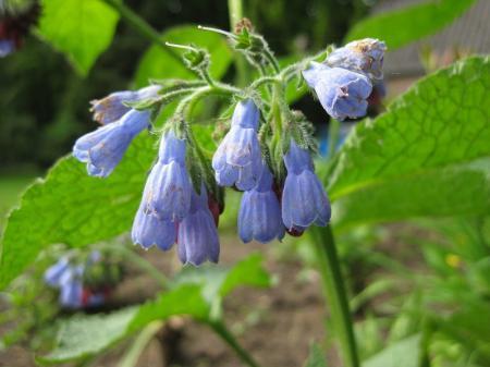 'plant met blauwe bloempjes