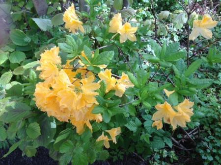 Struik met gele bloemen wieowie weet welke dit is.