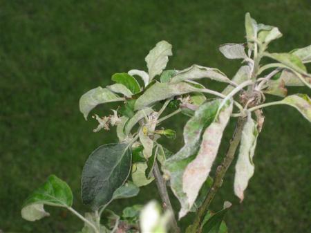 blad van appelboom
