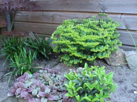 Euphorbia amygdaloides efanthia