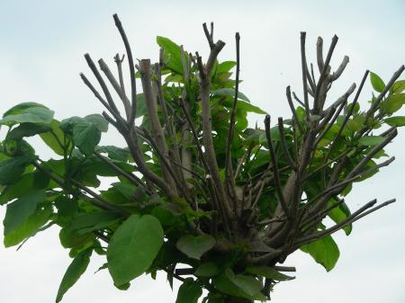 Bolcatalpa deels geen blad