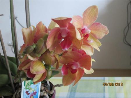 naam phalaenopsis