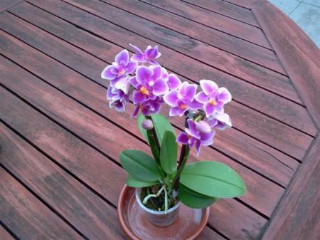 Mini Phalaenopsis naam