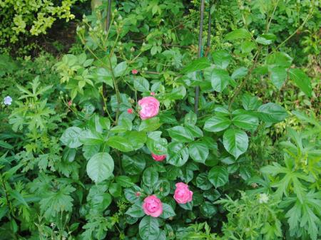 Welke roos zou dit kunnen zijn?