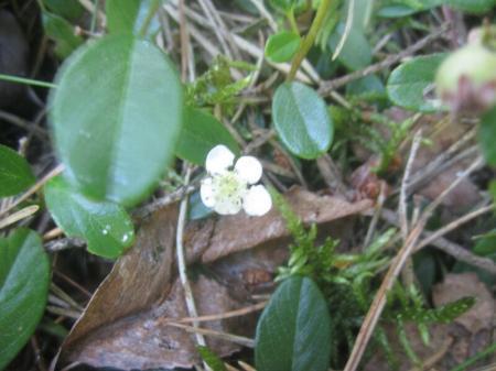 bodembedekkende plant
