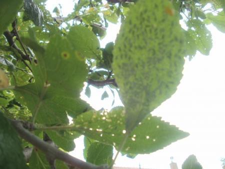 Zieken pruimenboom