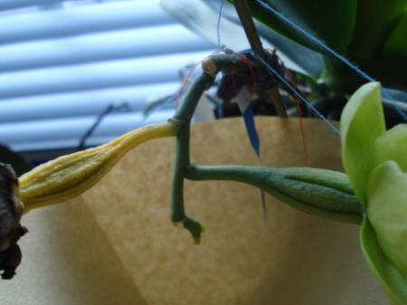 Ene zaaddoos verkleurt, ander niet (phalaenopsis)
