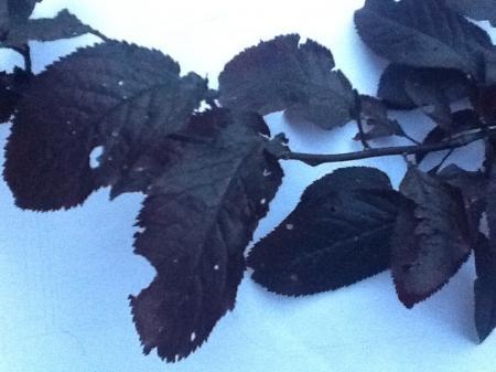 Prunus boom ziek?