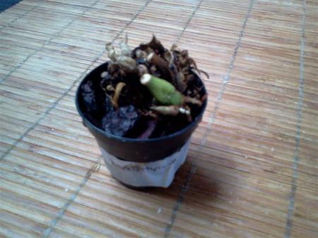 bulbophyllum echinolabium in nood
