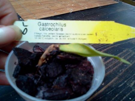 Gastrochilus Calceolaris