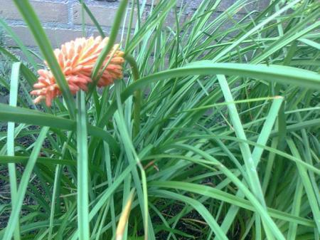 bloemstengel Kniphofia hangt slap