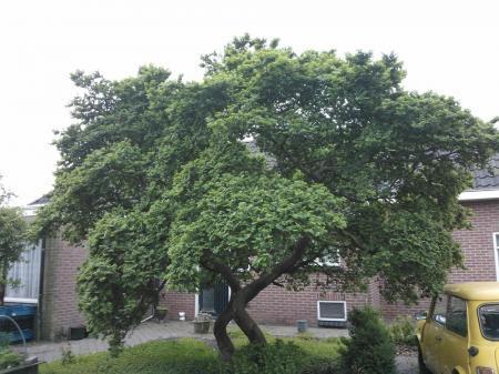 wie herkent deze boom?