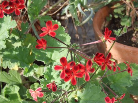 Geranium ardens.