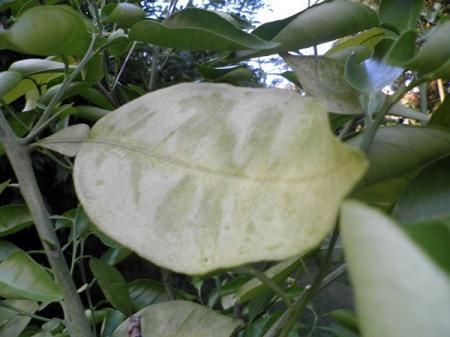 zieke sinaasaoppelboompjes