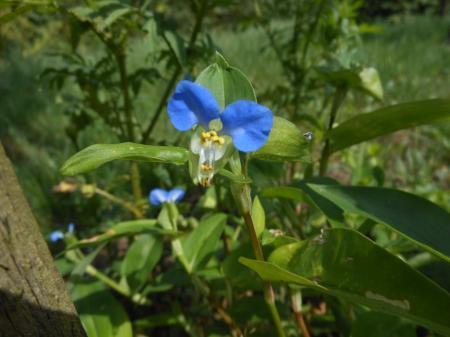 Wie kent deze bloem met 2 blauwe blaadjes.
