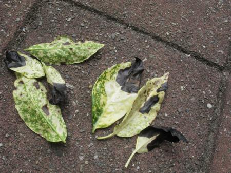 Aucuba japonica zwart blad