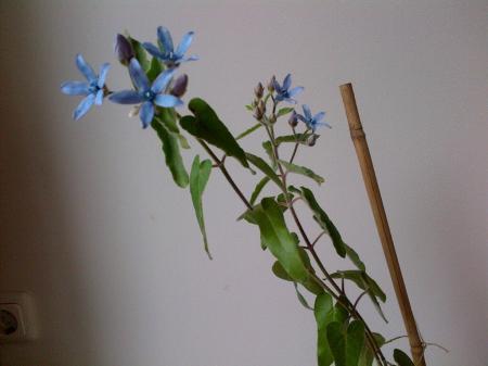 Wat is dit voor plant? (Blauwe bloem)