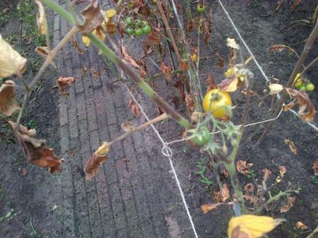 Tomaten planten rot?