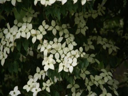 welke boom/struik is dit (Japanse tuin)?