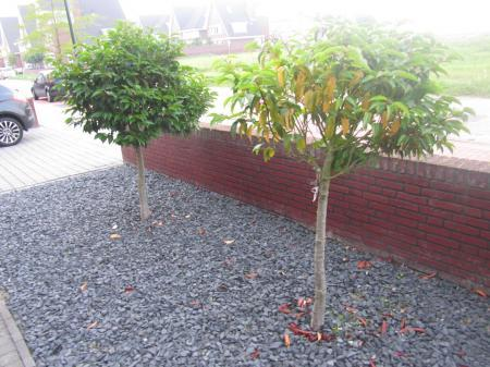 Zieke Prunus lusitanica?