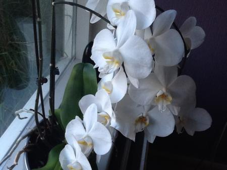 Heb al sinds 2 jaar 3 orchideeën bloeien altijd.