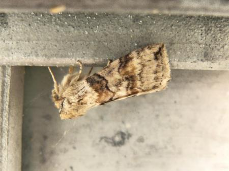Welke nachtvlinder is dit?