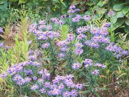 asters?