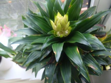 wie weet welke dracaena plant dit is
