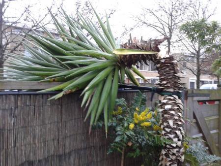 Afgebroken Yucca oppotten