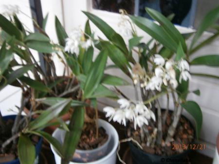 Dendrobium Delicatum