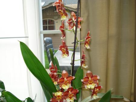 Nieuwe bloei Wilsonara en phalaenopsis