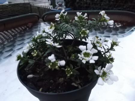wie herkent deze plant (bodembedekker?)