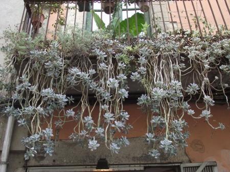 hoe heet deze vetplant?