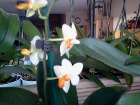 opnieuw in bloei Phalaenopsis Mini Mark Holm
