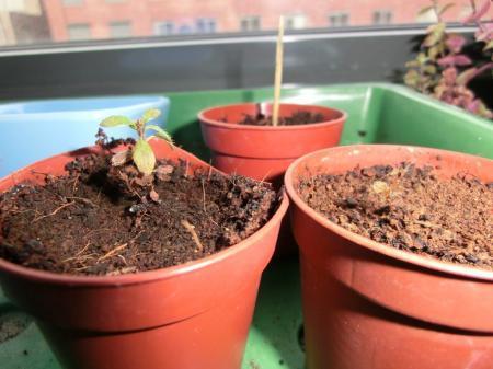 azalea zaailingen