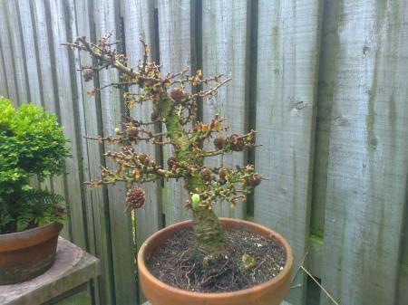 Juiste naam ( cultivar ) van deze Larix