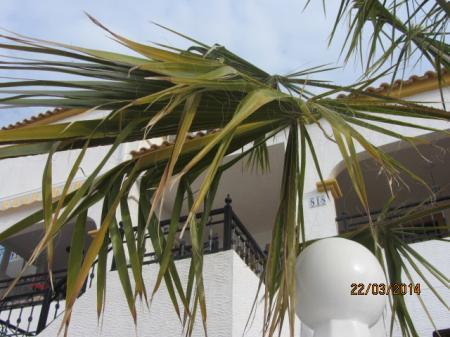 Trachycarpus filifera krijgt gele bladeren