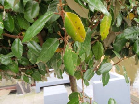Gele bladeren in mijn olijfwilg