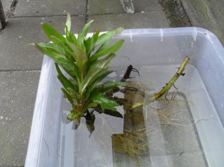 wat voor soort waterplant is dit?