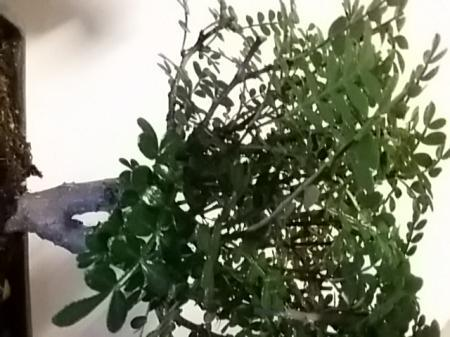 Wat voor bonsai heb ik??