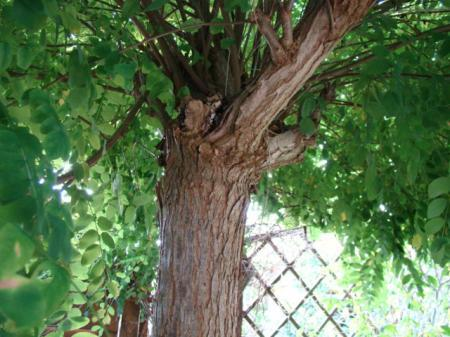 Soort boom, en wanneer te snoeien