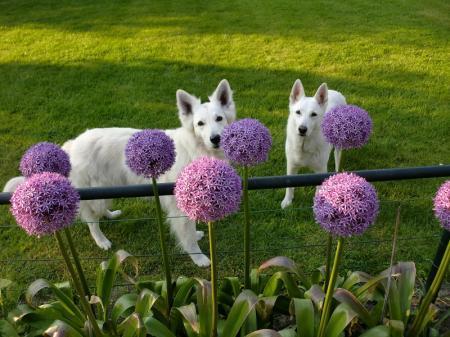 Allium 'Globemaster'  2e jaar kleinere bloemen