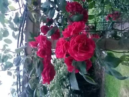Welke roos is dit?