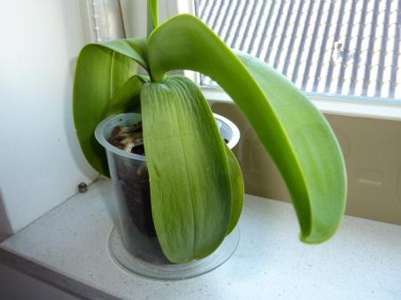 Verschrompelde bladeren phalaenopsis