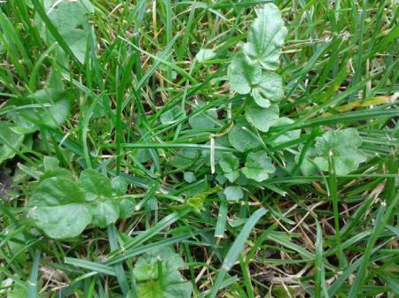 Welk onkruid in grasveld is dit, hoe bestrijden ?