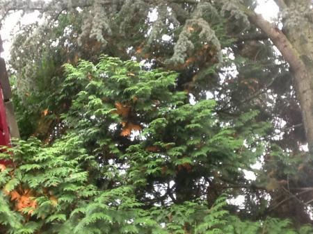 Zieke Coniferen boom ?
