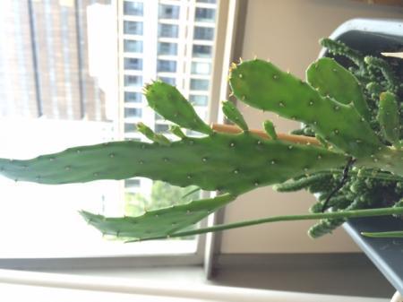wie weet de naam van deze cactus?