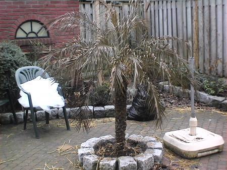 phoenix canariensis heeft bruinig blad.....